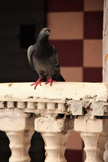 Pigeon perching on wall
