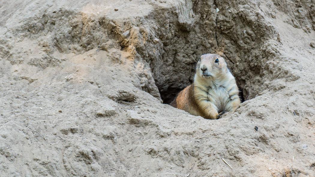 Prairie Dog Alertness Day Desert Natural Pattern No People Prairie Dogs Rock Rock Formation Zoology
