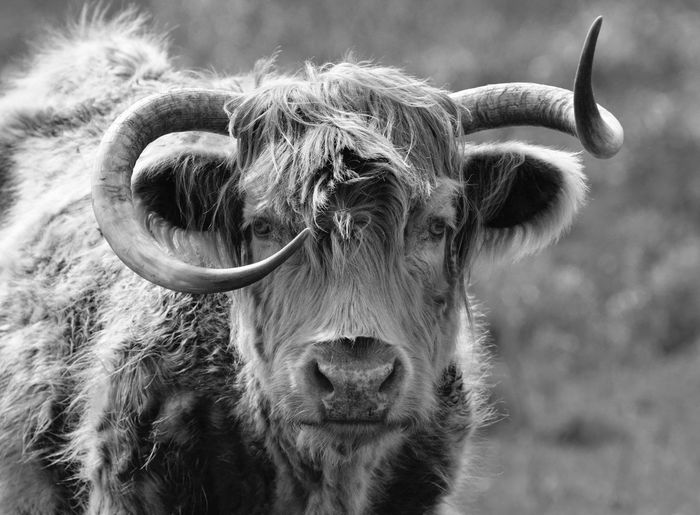 Highland Cattle Blackandwhite Blackandwhite Photography Close-up Animal Photography Beautiful Girl getting really old Monochrome Looking At Camera Inquisitive Showcase April