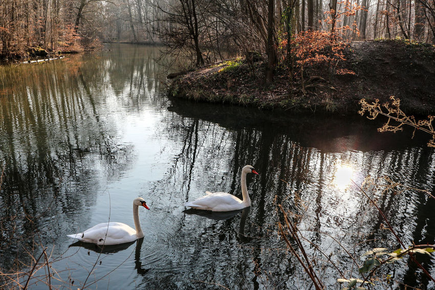 Zwei Schwäne Schwan  Two Swans Nature Photography Naturfotografie Fluss Wald Natur Leipzig Leipzigtravel Auwald Pleiße River Wood Into The Woods Water And Trees Reflection In The Water Sunbeam Animals In The Wild Bird Animal Themes Water Animal Wildlife Swan Reflection Water Bird Nature Outdoors Floating On Water Tree Shades Of Winter