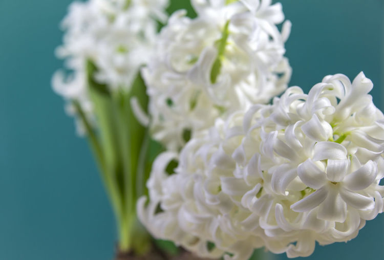 First flowers in springtime. Beauty In Nature Close-up Day Flower Flower Head Fragility Freshness Green Color Hyacinth Hyacinth Flower Indoors  Nature No People Spring Flowers Springtime Still Life Studio Shot White White Color