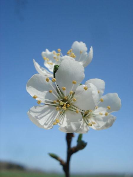 Schlehdorn Schlehen Blüten Beauty In Nature Clear Sky Flower Flower Head Flowering Plant Nature No People Outdoors Sky Sloe Springtime White Color