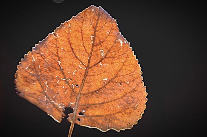 'Autumnleaf' Plant Part Leaf Autumn Leaf Vein Close-up Nature Beauty In Nature Natural Pattern Black Background