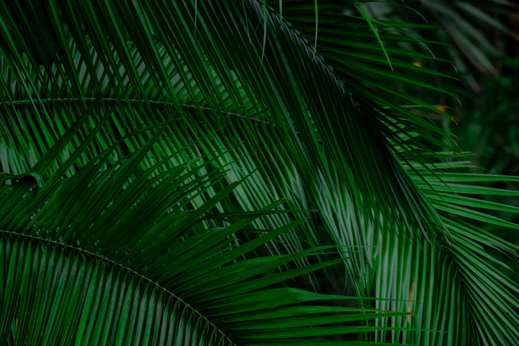 Close-up of palm tree leaves
