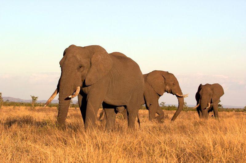 Elephants on grass against sky