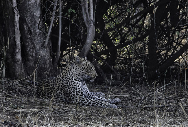 Activity, Adventure, Africa, African, Animal, Animals, Female Leopard, Female Leopard Resting On The Ground, Game, Game Viewing, Leopard, Lying, Head Up, Herbivore, Holiday, Landscape, Looking, Kruger National Park, Mammals, Mammal, Panthera Pardus, Prey  Animal Themes Animal Wildlife Animals In The Wild Beauty In Nature No People One Animal Outdoors Relaxation Rosettes Spotted
