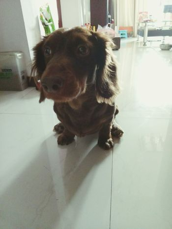 Dogs Of EyeEm Dog Dog Love My Puppy Dog❤ Dog Lover Doglover Doggie Cute Pets Dachshund Pet I Love My Dog Sausagedog Dachshundlove Hello World