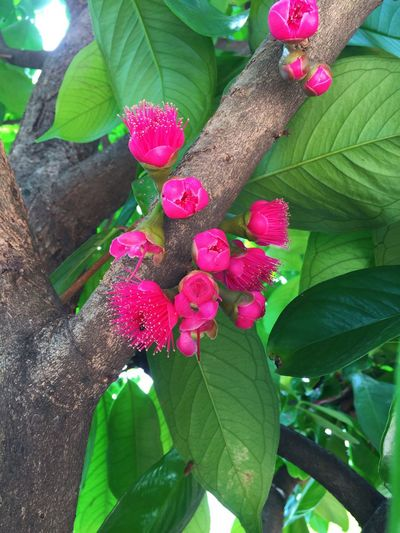 Mamiew Pomerac tree with flowers Growth Leaf Green Color Nature Plant Tree Day Pink Color Freshness Outdoors Beauty In Nature Close-up No People Flower Fragility Beauty In Nature Pomerac Mamiew Tree Freshness Plant