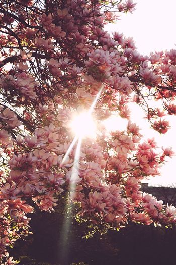 Cherry Blossoms Lens Flare Tree Blossom Springtime Cherry Blossoms