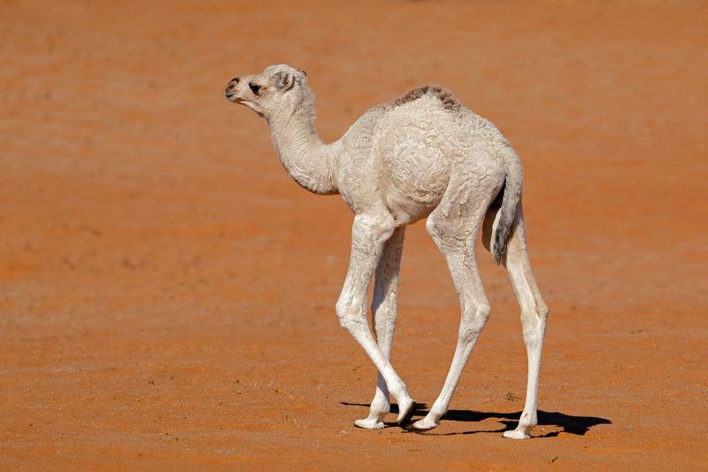 Came calf walking at desert