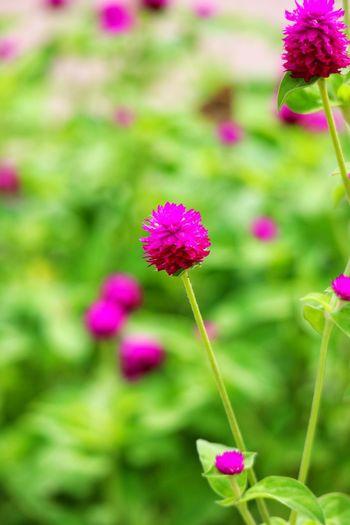 Flower Head Flower Zinnia  Multi Colored Pink Color Poppy Summer Purple Springtime Close-up