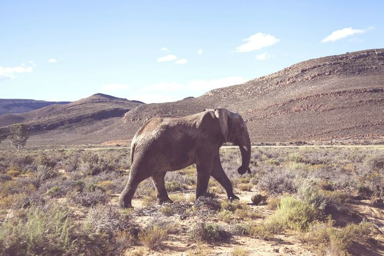 Africa♡ African Elephant