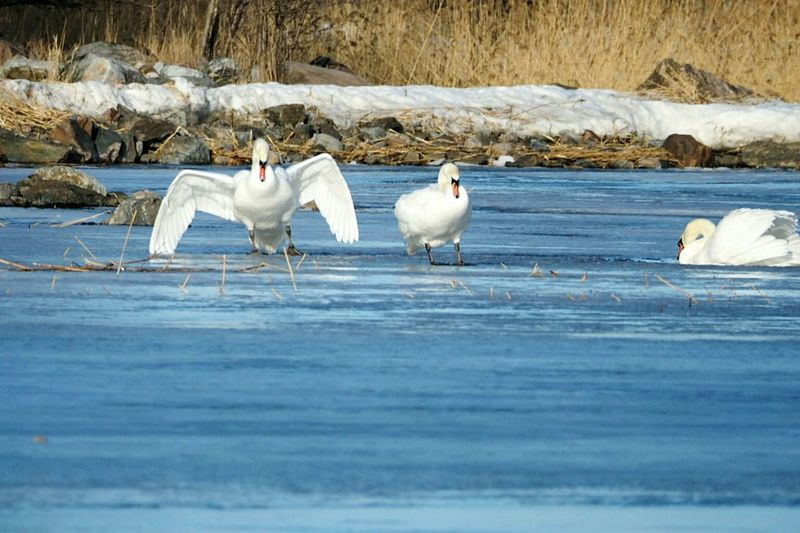 Bird White Color Animals In The Wild Cold Temperature Snow Winter Animal Wildlife Nature Animal Themes Swan Outdoors Swan On Ice Spread Wings Ice And Water Winter Nature Outside Sea Bird Animals In The Wild Nature Water Bird
