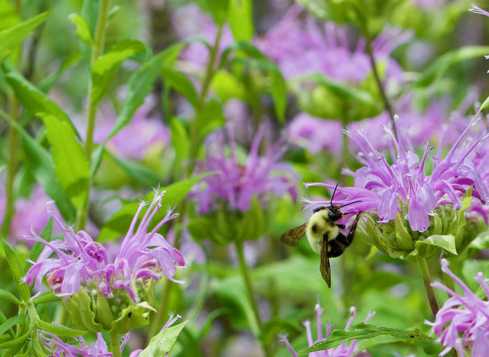 Close-up of bee on purple flowers