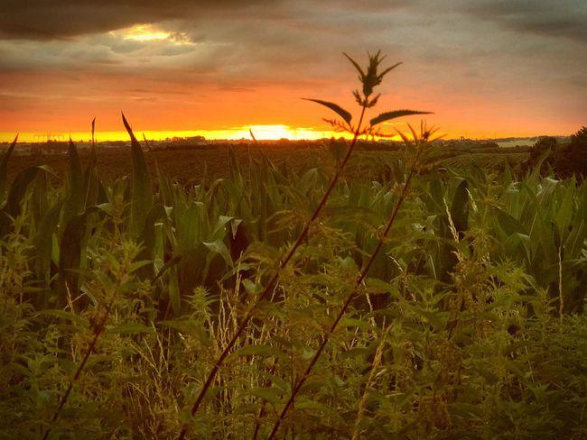 stinging nettle Sunrise Nature Field Nettle Stinging Nettles Sky And Clouds Sunlight