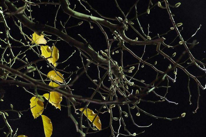 冬支度 Fujix20 紅葉した葉は散ってゆき、蕾が毛皮を着始めました。