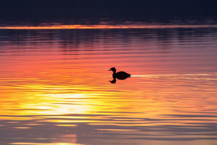 Silhouette Duck Swimming On Lake During Sunset