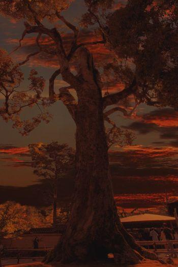 Big Tree Sunset
