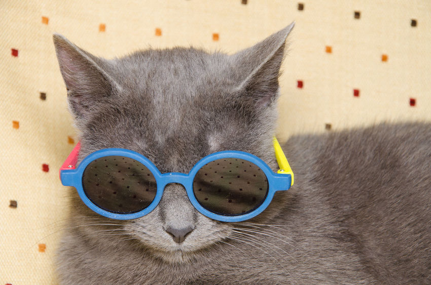Summer portrait of cool grey cat with sunglasses Angry Cool FUNNY ANIMALS Summertime Animal Animal Themes Beach Cat Cat Portrait Close-up Crazy Animals  Domestic Animals Domestic Cat Fashion Feline Humor Indoors  Mammal One Animal Pet Portrait Summer Sunglasses Vertebrate Whisker