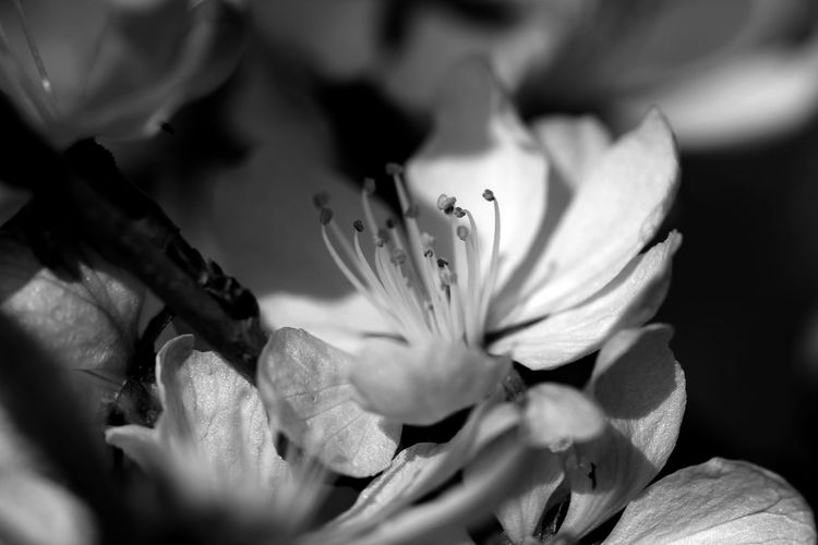 Beauty In Nature Black & White Black And White Blackandwhite Cherry Blossom Close-up Flower Flower Head Fragility Freshness Growth Macro Monochrome Nature Outdoors Petal Plant Spring Spring Has Arrived Springtime at Alter Botanischer Garten Göttingen  EyeEmNewHere