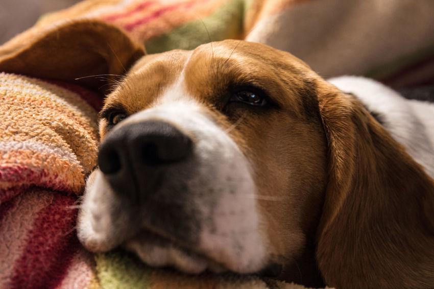 Beagle Love Beaglelife Beaglelovers Beagleoftheday Beagles