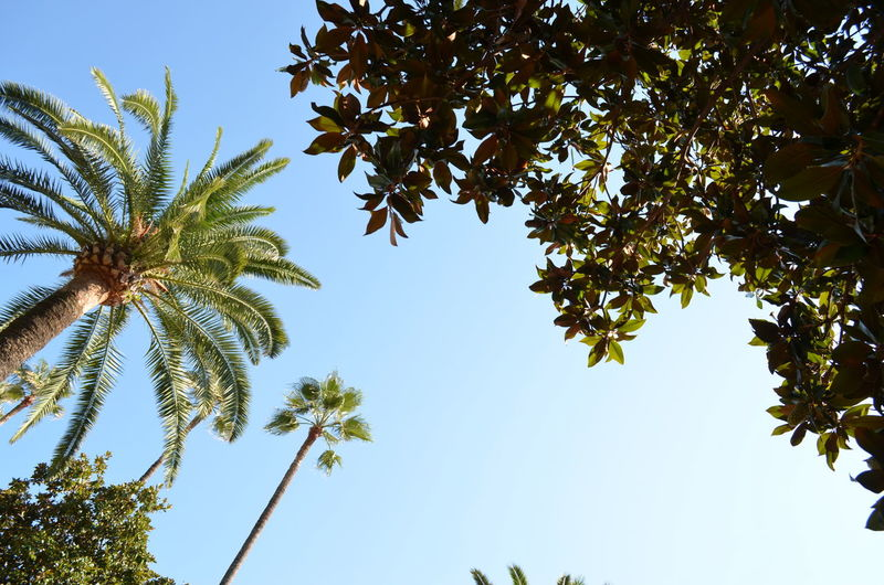 Beauty In Nature Clear Sky Day Low Angle View Nature Outdoors Palm Trees Sky Tree