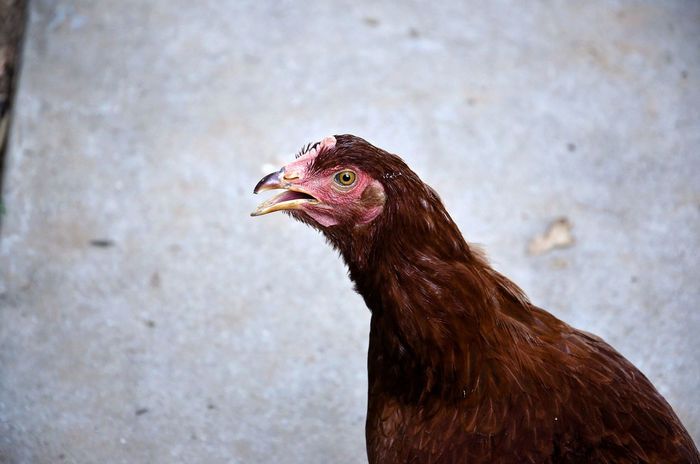 Animal Animal Head  Animal Themes Chicken Day Farm Feather  Outdoors Rhode Island Red