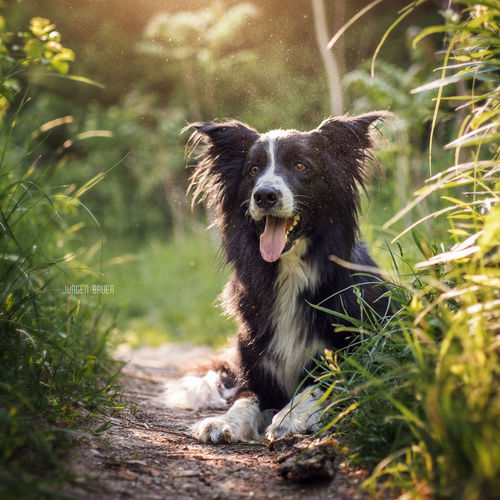 Merlin Dog Dogs Dogslife Dog Love Dogoftheday Photo Photography Available Light Photooftheday Picoftheday Photographer Nikon JuergenBauerPictures Summertime Sun Sunset One Animal Pets Grass Green Color Outdoors Nature Portrait Cute Summer