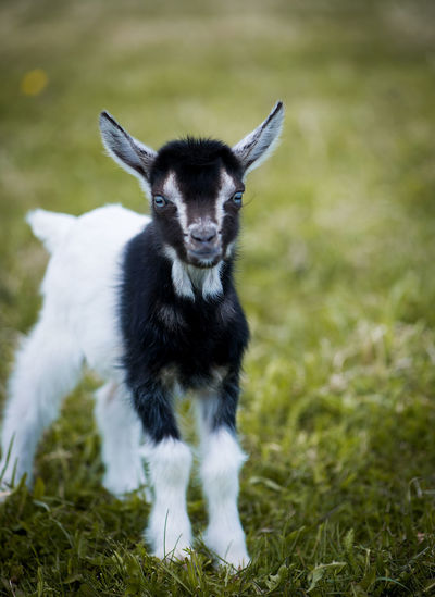 Agriculture Animal Themes Black Cattle Breeding Close-up Day Domestic Animals Farm Field Focus On Foreground Full Length Goat Grass Green Color Looking At Camera Mammal Nature No People One Animal Outdoors Pets Portrait White Yeanling Young Animal