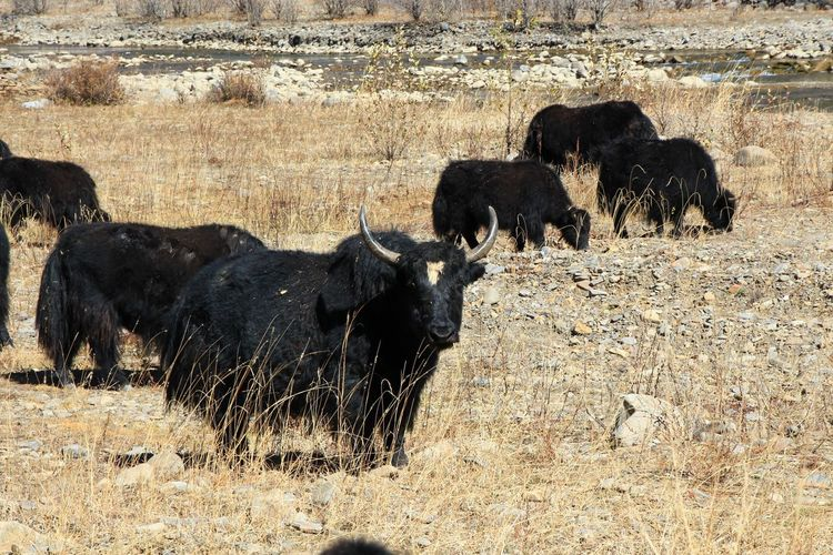 Short moment in time Animal Animals Looking Day Livestock Animal Themes Cattle Field Land Nature No People Focus On Foreground Outdoors Yak