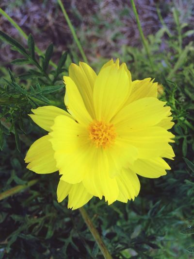 Yellow. IPhone Photography IPhoneography EyeEmNewHere Flower Flowering Plant Plant Flower Head Petal Vulnerability  Fragility Yellow Freshness Beauty In Nature