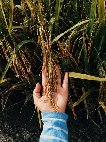 Paddy close up Paddy Beauty In Nature EyeEm Nature Lover EyeEmNewHere Nature_collection Photography Scenics - Nature Travel EyeEm Gallery Plant Rice Paddy Food Close-up Check This Out Photography No People Mobilephotography Human Hand Tree Water Agriculture Holding Close-up Plant Ear Of Wheat Personal Perspective Wheat Cereal Plant