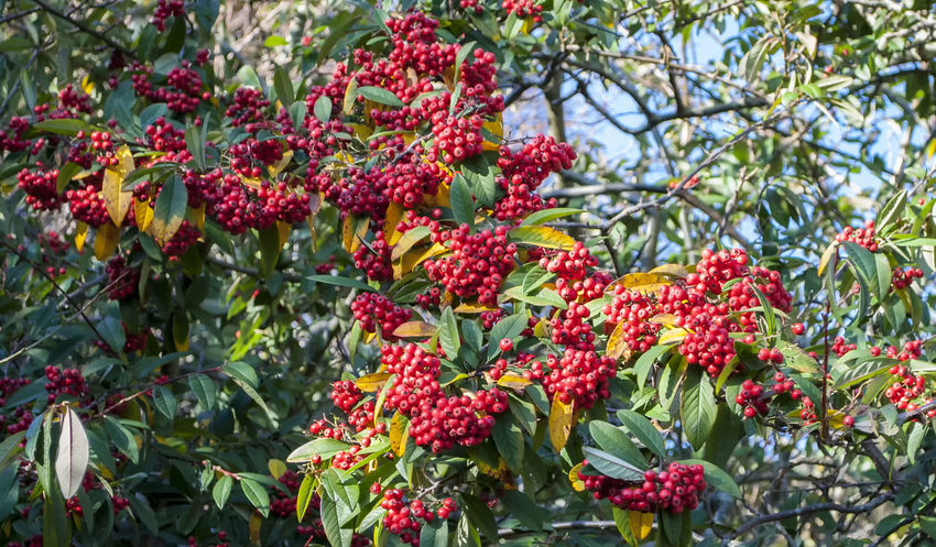 Natures food Growth Red Nature Tree Beauty In Nature Plant Branch Berries Southsea Portsmouth Hampshire  England