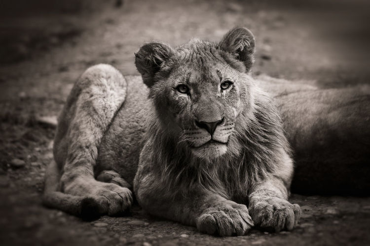 Lion, Lion Cub, Mane, Free, Relaxing, Sitting, Young Adult, Animal, African, Looking At Camera Undomesticated Cat Africa, Cute, Detailed, Interseted, Animal N The Wild, Animal Theme, Hair Portrait Mammal One Animal Black And White, Monochrome,