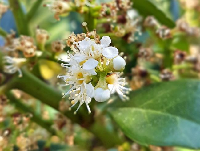 Beauty In Nature Blooming Blossom Branch Close-up Day Flower Flower Head Fragility Freshness Growth Kirschlorbeer Leaf Nature No People Outdoors Petal Plant Springtime Stamen Tree White Color