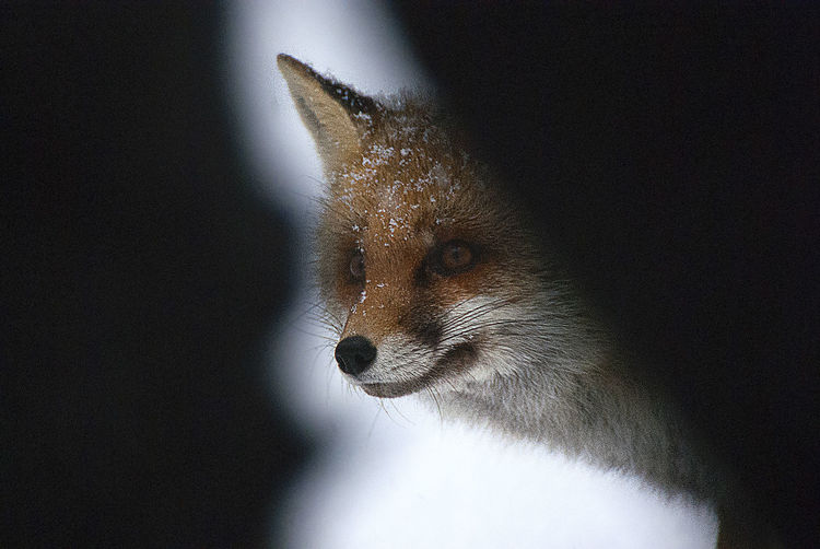 Close-up of fox