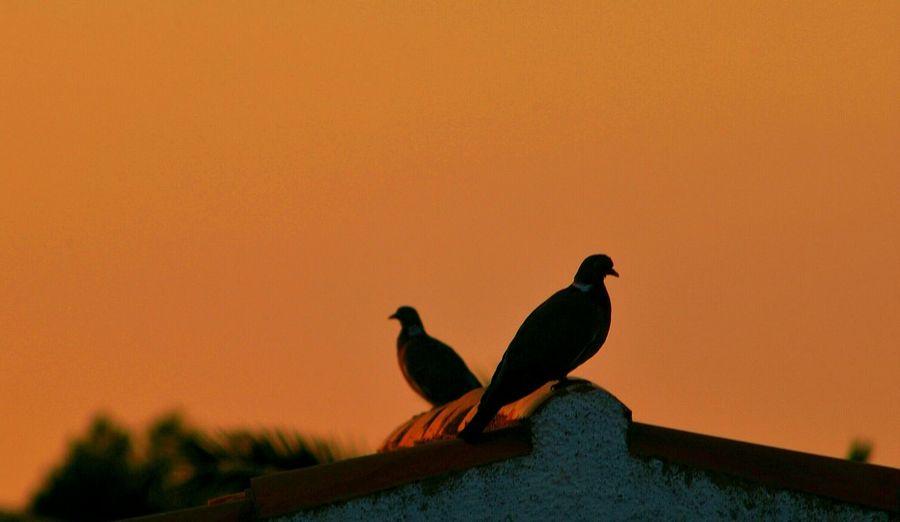 Doves perching on roof against orange sky