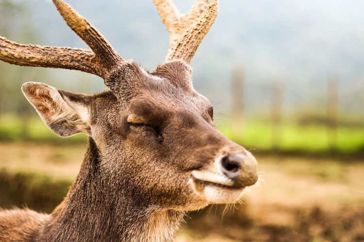 Close-up of stag with eyes closed on field