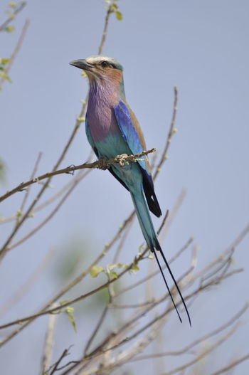 Lila Breasted Roller African Wildlife Birds Of Africa Birds Of East Africa Kenyan Safari Lila Breasted Roller Safari Kenya Sub Sahara African Wildlife Birds Bird Birds Of EyeEm  Birds_collection Birds🐦⛅ Bird Photography EyeEm Birds Africa Animal Photography Wildlife Photography EyeEm Nature Lover Animals