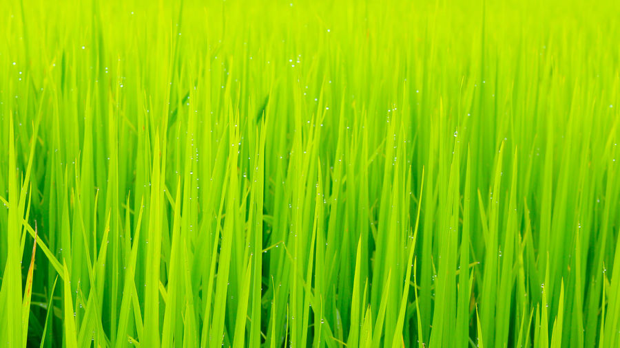 Green Color Nature Backgrounds Grass Growth Close-up Freshness Day Plant Field Cereal Plant Beauty In Nature Rice Paddy Agriculture Fragility Full Frame Outdoors No People Lush Foliage Thailand_allshots Rice Field Rice - Cereal Plant Rice - Food Staple Food Green Background Plant Agriculture