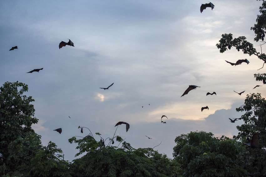 Foxbats in Thailand ASIA Flock Of Birds Thailand Animal Themes Animal Wildlife Animals In The Wild Bats Day Flying Forest Fox Fox Bat Foxbat Foxbats Fruit Group Large Large Group Of Animals Low Angle View Mid-air Nature Silhouette Sky Spread Wings Tree