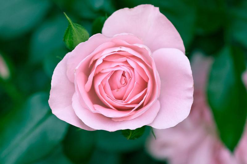 Rose♥ Rose🌹