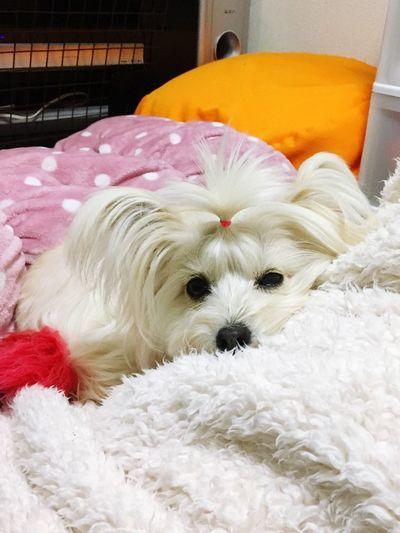 ねむい Pets Dog Pomapoo Cute Cute Pets Sleep One Animal Animal Themes