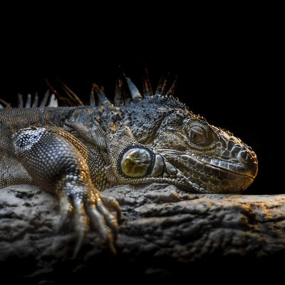 Reptile One Animal Animal Themes Animal Wildlife Animal Animals In The Wild Vertebrate Animal Body Part Close-up Crocodile Studio Shot No People Animal Head  Nature Selective Focus Lizard Black Background Night Copy Space Side View Iguana Animal Scale Animal Eye
