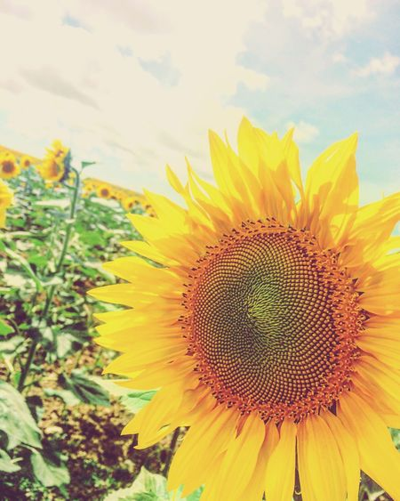 Power of the sunflower! Flower Beauty In Nature Close-up Sky Nature Petal Sunflower Flower Head Fragility Yellow Vibrant Color