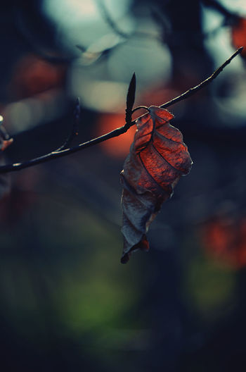 Close-up of dried autumn leaf on twig