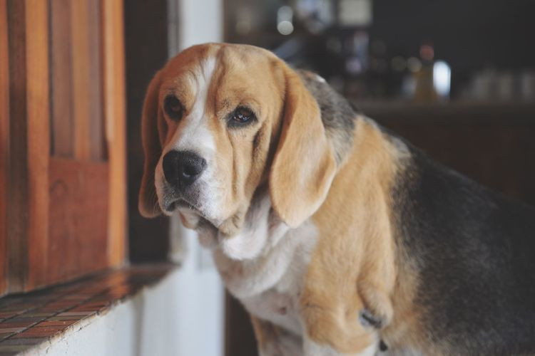 The tired dog One Animal Domestic Animals Animal Themes Pets Dog Indoors  Looking Away Close-up Mammal Animal Head  Zoology Focus On Foreground Animal Loyalty Snout Pampered Pets No People At Home Animal Nose