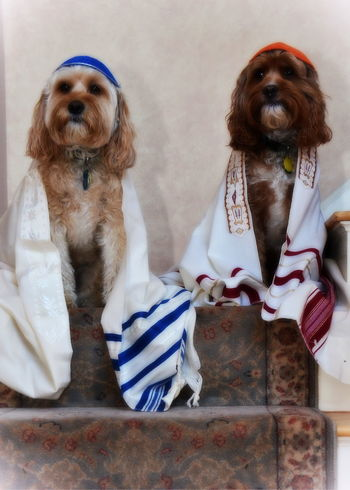 Bark Mitz Bar Mitzvah Cindy Greenstein Photography Dog Dogs With Jobs Dogs With Kipp Dogs With Prayer Shaw Dogs With Tallit Jewish