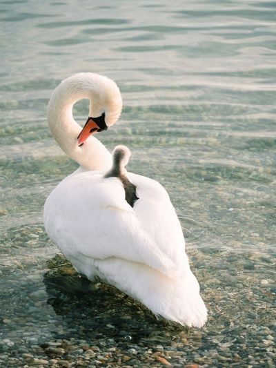 Swan with cygnet swimming on river