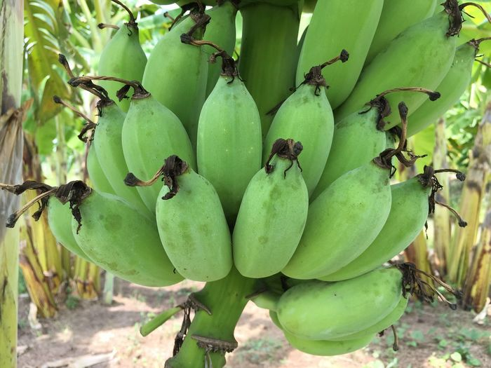 Raw Cultivated Banana at farm in Thailand Green Color Growth Plant Fruit Food Food And Drink Healthy Eating Nature Close-up Tree Banana